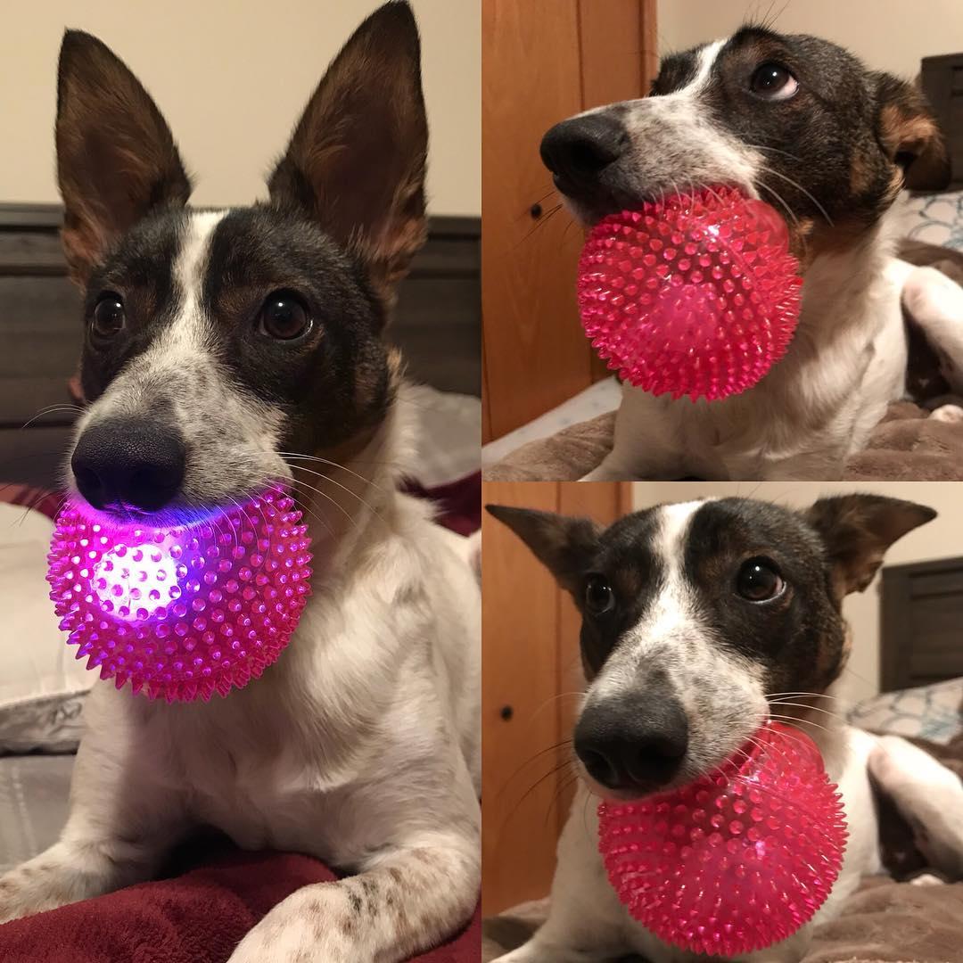 lightupsqueakylightballdogtoy