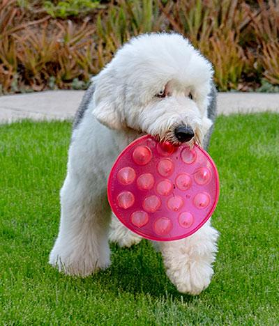 Floppy Spike mascot, Fynn, blue-eyed Old English Sheep dog holding fluorescent pink Floppy Spike flying disc.