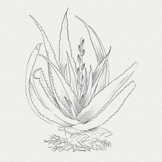 Aloe vera -  actif de crème hyratante