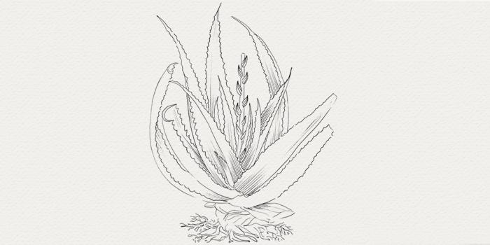 Aloe vera - plante hydratante