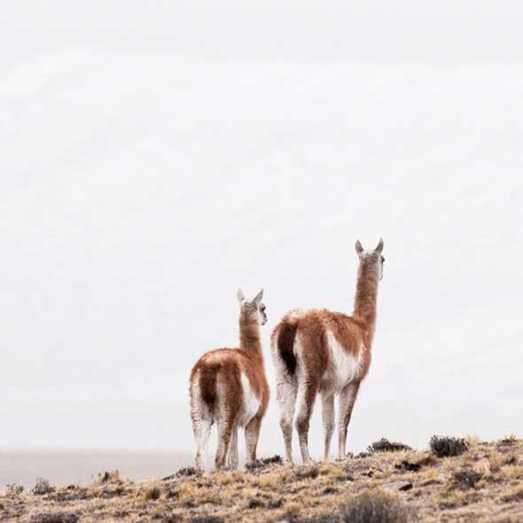 Alpaga Patagonie