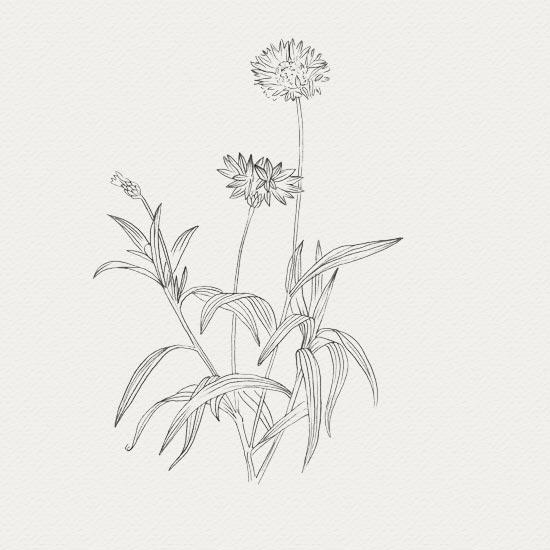 plante médicinale - crème de nuit - bleuet