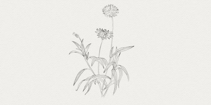Bleuet - plante médicinale