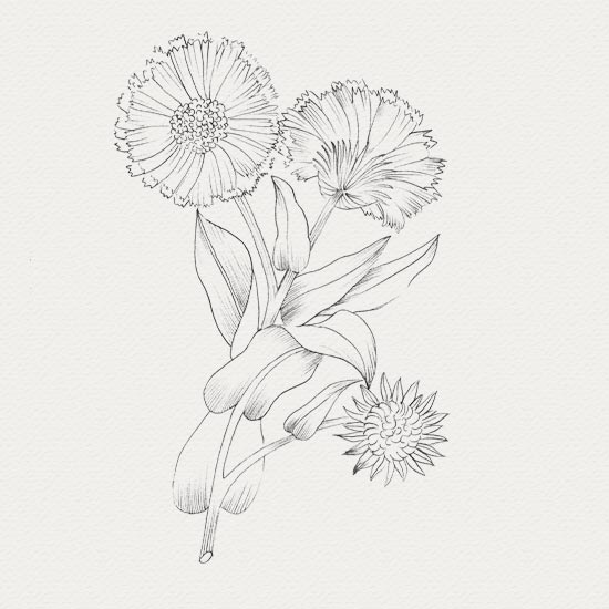 Calendula - plante pour crème apaisante