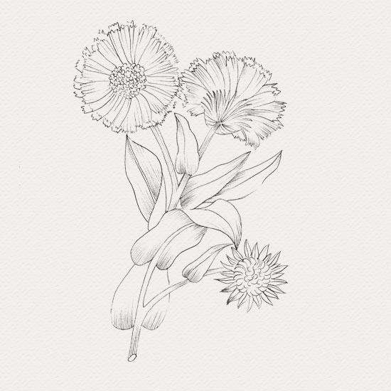 plante médicinale - sérum visage - calendula