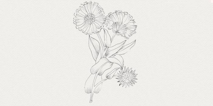 Calendula - plante pour peau sensible
