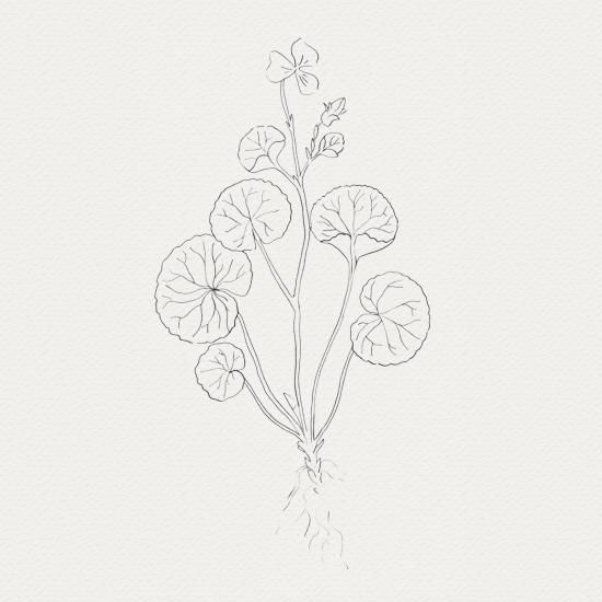 plante médicinale - sérum visage -  centella