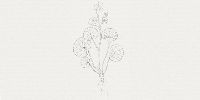 Centella - actif botanique pour raffarimir la peau