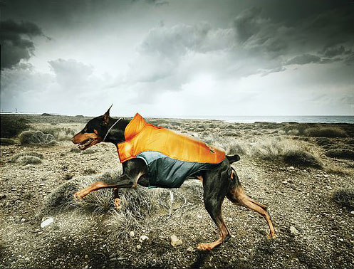 dog running in jacket