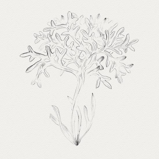 plante médicinale - crème de nuit -  fucus
