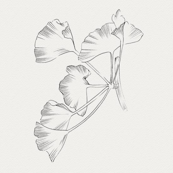 plante médicinale - sérum visage - ginkgo