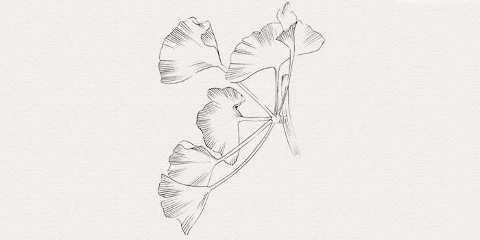 Ginkgo - plante médicinale contre teint terne