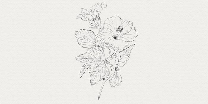 Hibiscus - plante médicinale pour peau mature