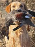 Duck Dog - Huck