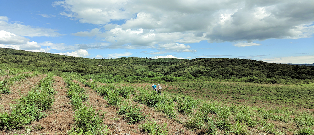 Renegade Tea Estate tea plantations