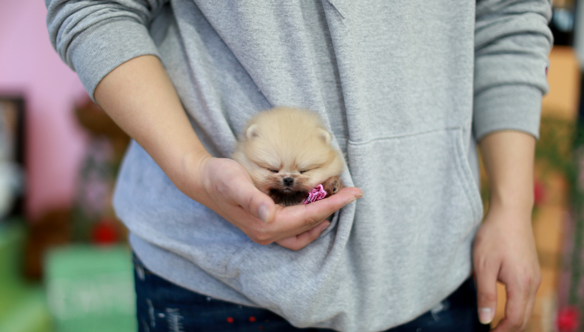 Teacup Puppies For Sale Miniature Toy Dogs Foufou Puppies