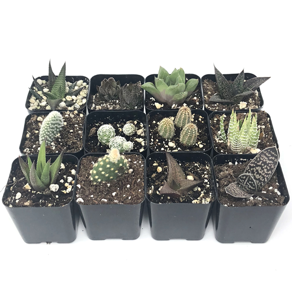 Cactus and Succulents for Sale Online Direct from the Nursery – Harddy