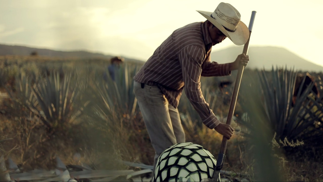 Jimador harvests blue webber agave for tequila making