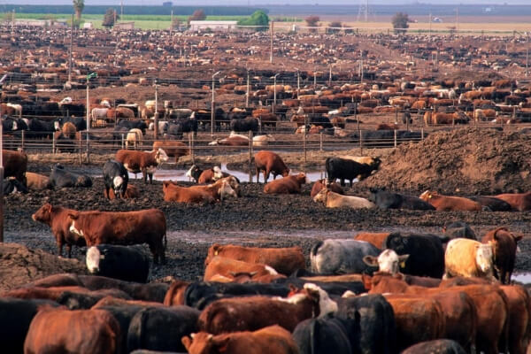 Grain Fed beef Feedlot