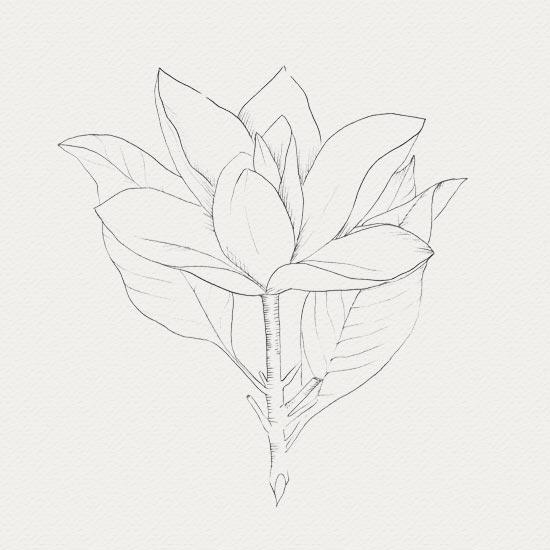 plante médicinale - crème de nuit -  Magnolia