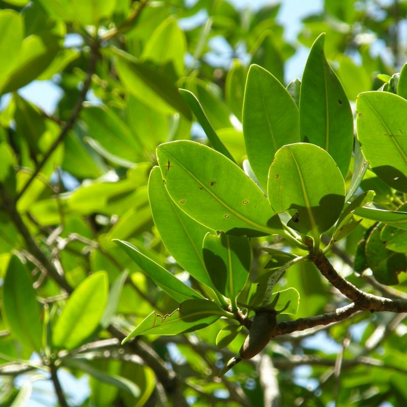 Florida mangrove