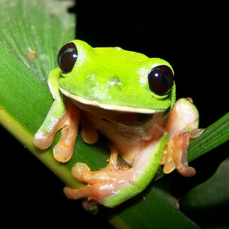 Guatemala reptile frog, endangered species.