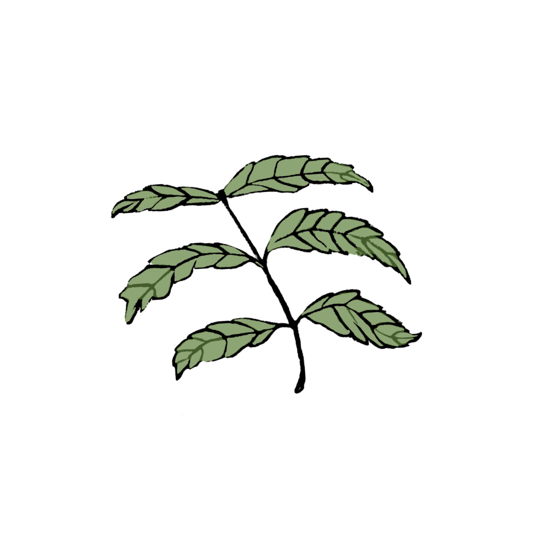 Benefits of Neem for acne prone skin used in Taila clean beauty