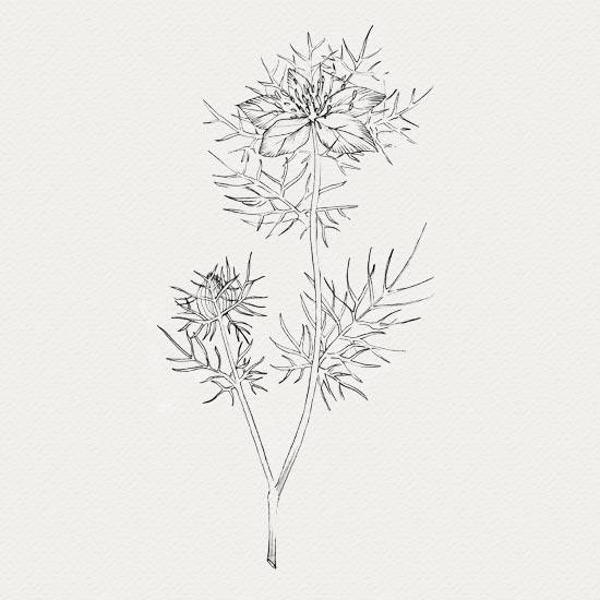 plante médicinale - crème de nuit -  nigelle