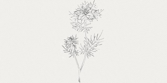 Nigelle - plante pour crème de nuit contre peau grasse