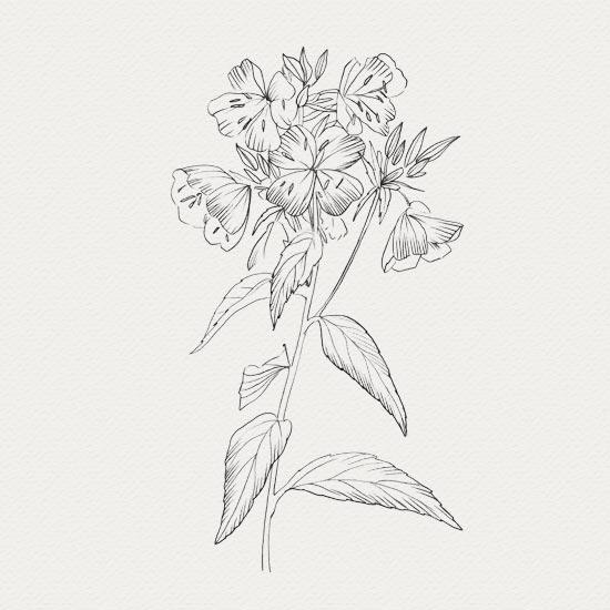 plante médicinale - crème de nuit - onagre