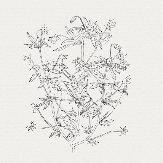 plante médicinale - crème de jour -  pensée sauvage