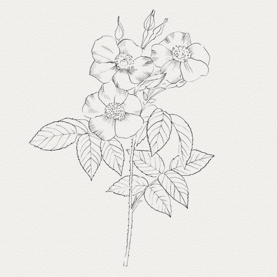 Rose de damas - plante médicinale