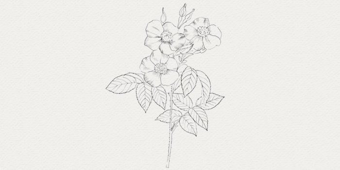 Rose damas - actif botanique