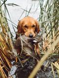 Duck Dog - Stetson