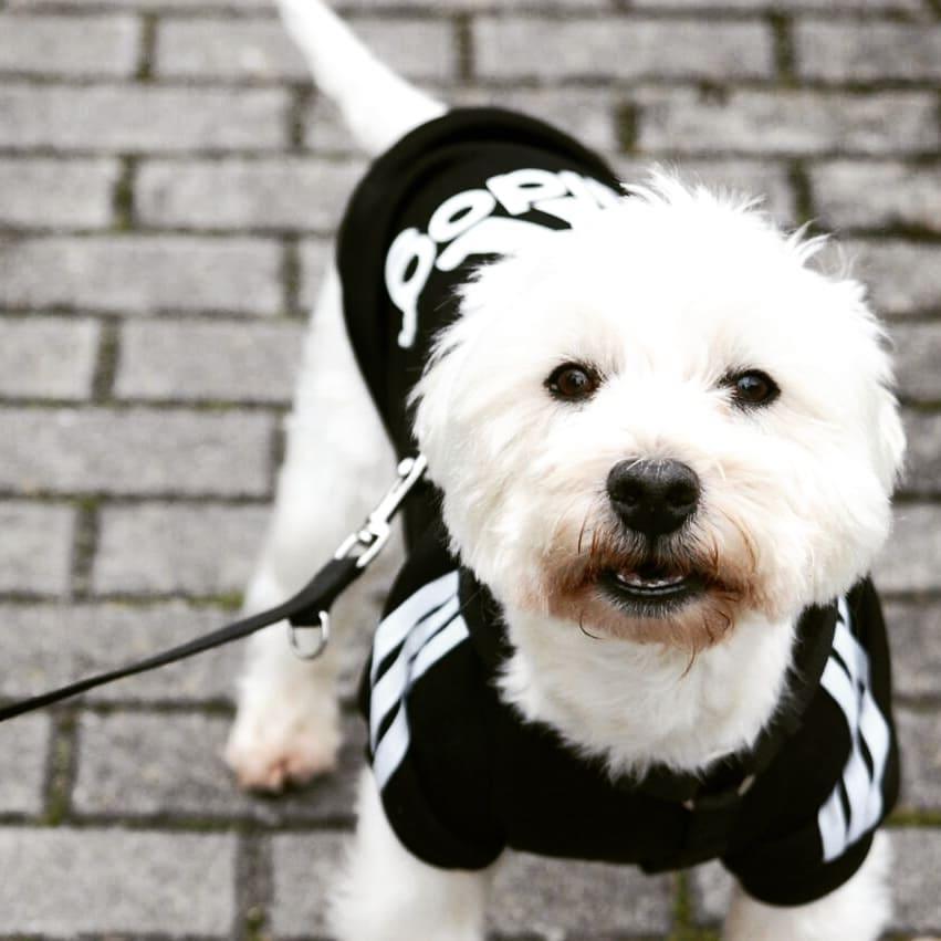 bichonadidog