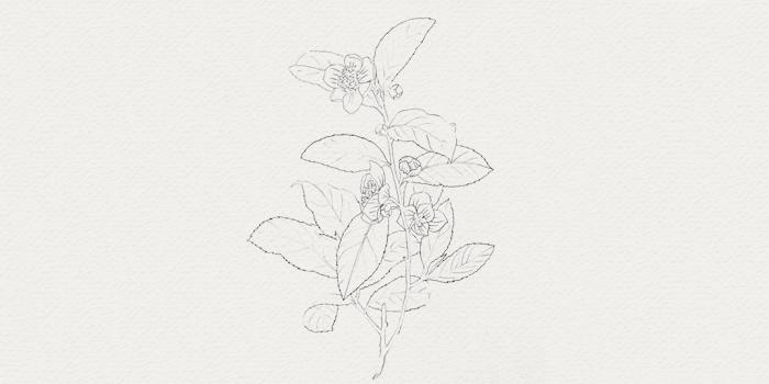 Thé vert - plante pour cosmétique botanique