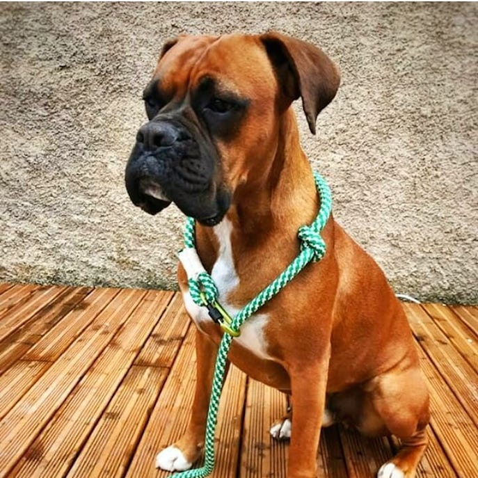 adjustabletrainingleadcollarboxer